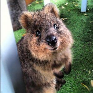 クアッカワラビーがSNSで大人気!日本で見られる動物園は ...